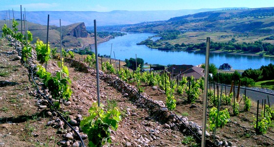 Vineyard overlooking river.jpg